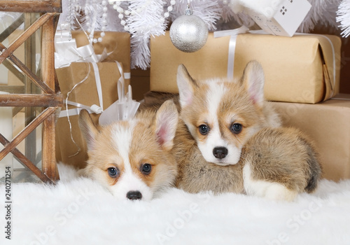 Two puppies Welsh Corgi Pembroke under the Christmas tree - 240271254