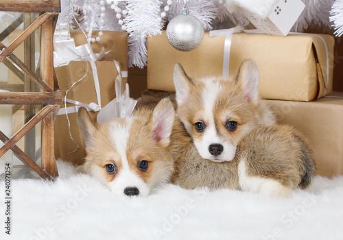 Two puppies Welsh Corgi Pembroke under the Christmas tree