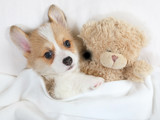 Little Welsh Corgi Pembroke puppy with his toy Teddy bear