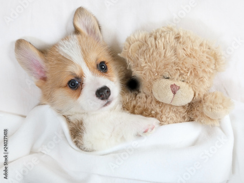 mata magnetyczna Little Welsh Corgi Pembroke puppy with his toy Teddy bear
