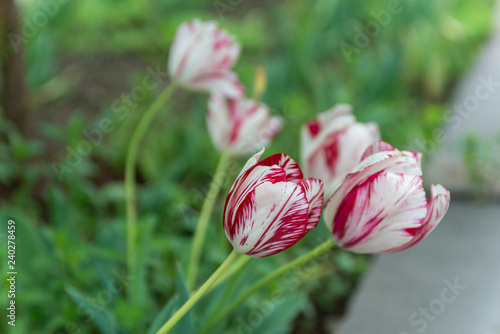Red and white tulips in the garden