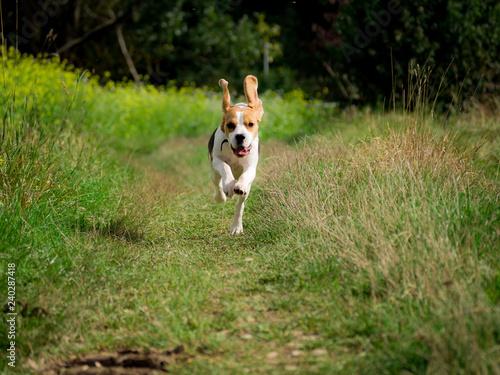 Running Beagle