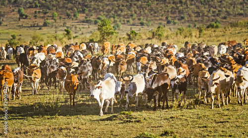 Herd of Jersey cows in the Natal Midlands, Africa.