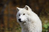 arctic wolf during fall