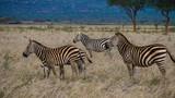 Watchful Zebra Herd