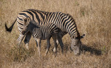Zebra mother and calf © Steven Fish