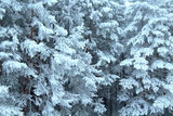 Wonderful snowy forest in cloudy weather. Close-up. Background. Landscape.