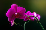 Pink phalaenopsis orchid flower on a dark background close up © Галина Сандалова