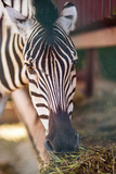 Zebra in the zoo. Portrait. Close-up. © Marinaks