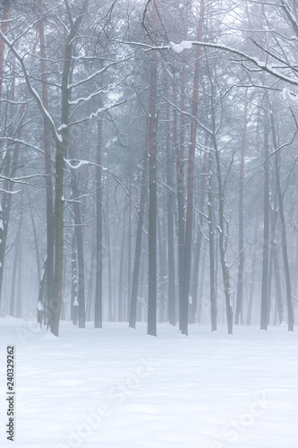 snow covered trees in forest. winter foggy forest landscape