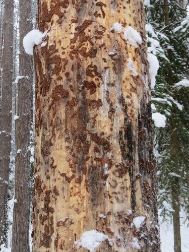Dying pine. (The Vast Russia! Sergey, Bryansk.) - 240338089