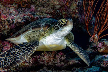 green sea Turtle portrait close up while looking at you in maldives