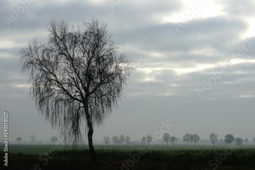 Birke,Morgenstimmung,Flachland - 240378027