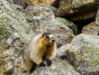 Canadian groundhog on stone boulders