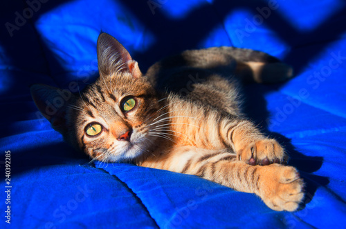 Leinwandbild Motiv Brown cat on the blue blanket, sunny day