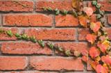 Red brick wall with beautiful orange ivy