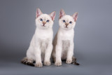 Two thai kittens are sitting on a gray background