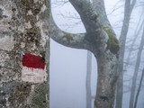 paint flag to mark the path on a beech tree in the fog - 240403242