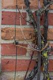 Mauer Ziegelmauer Backstein Wand mit Weintraube Weinbaum