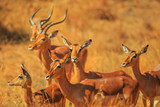 Side view of Impala group, Aepyceros Melampus, standing in Madikwe Game Reserve during game drive safari in South Africa. Blurred background. dry season. - 240407625