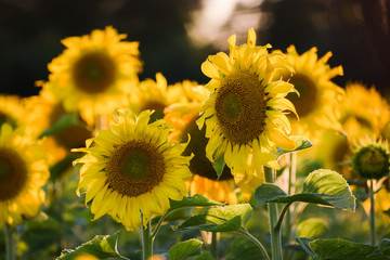 Agricultural plantation growing. Maturing sun flowers before harvesting