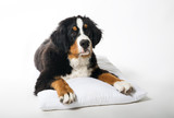 puppy Bernese mountain dog lying on the pillow.