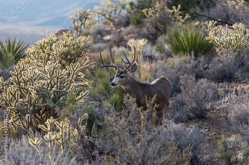Large buck mule deer with large antlers and cholla cactus.  Shot taken at Red Rock Canyon National Conservation Area near Las Vegas, Nevada. - 240432215
