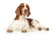 Adorable Springer Spaniel lies on white