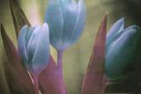 beautiful  tulips flowers textured background © Coka