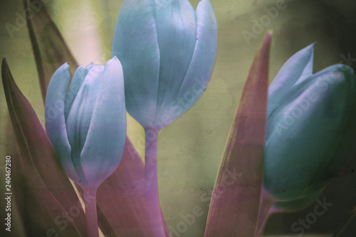 beautiful  tulips flowers textured background - 240467280