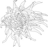 dahlia bloom outline on white background