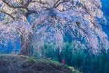 朝の光と枝垂れ桜 © tenjou