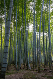 Green stems of bamboo forest