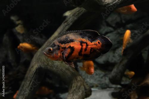 The Oscar Astronotus Ocellatus Is A Aquarium Fish From Amazon