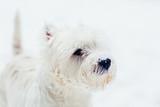 West highland white Terrier snow portrait