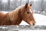 Brown horse standing behind wooden fence during winter snowfall © josephsjacobs