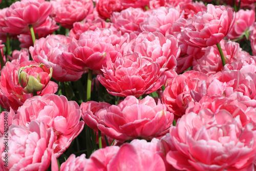 Blooming tulips in Keukenhof park in Netherlands, Europe - 240525408
