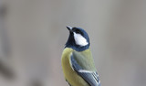 Great tomtit stretched up, probably saw something interesting for myself...