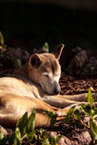 Old elderly New Guinea Singing Dog Canis lupus dingo