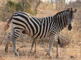 Burchell's Zebra in Kruger National Park, South Africa