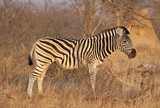 Burchell's Zebra in Kruger National Park, South Africa © Leonard Zhukovsky
