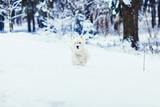 white Terrier runs through the snowy forest