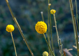 Yellow Bulb Flower