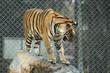 junge Tiger im Zoo in Thailand