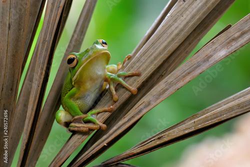 obraz lub plakat frog on leaf