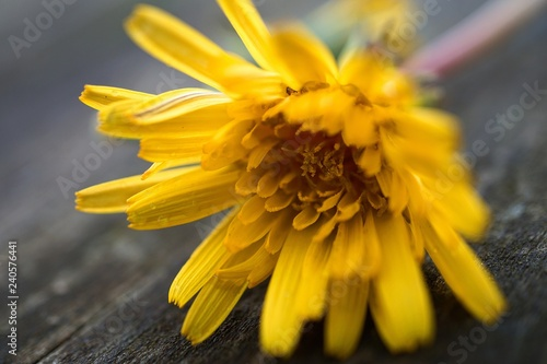 the beautiful yellow flower in the garden in the nature - 240576441