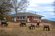 Rural house in Georgia with goats decorating front lawn, United States