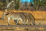 Three adult zebras lined up drinking at waterhole in natural habitat. Game safari in Kruger National Park, South Africa. Side view.