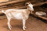 Little Goat on the farm - 240627429