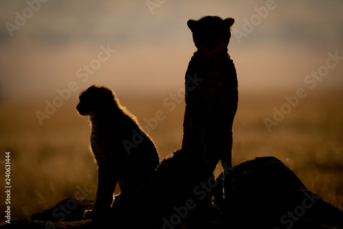 Silhouette of backlit cheetah beside cub sitting